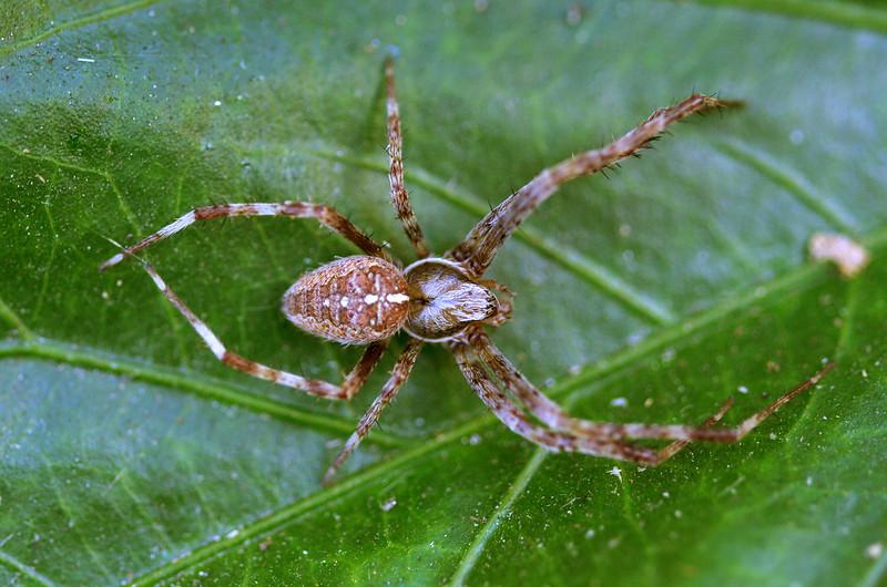 Male garden spider, or cross spider.