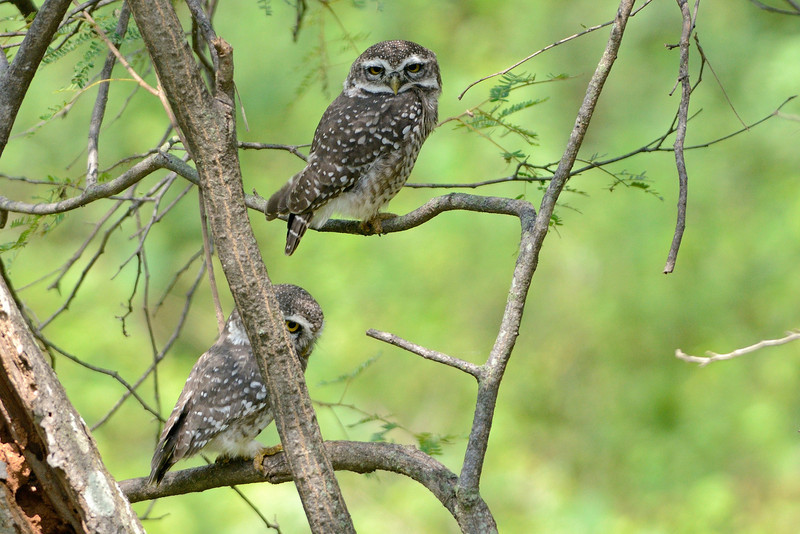 Spotted-Owlets.jpg