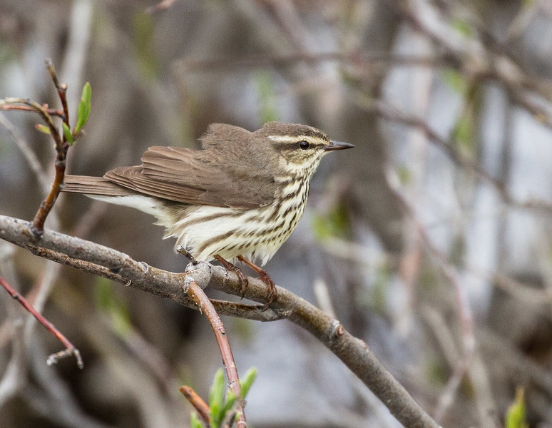 Northern Waterthrush Goose Creek Road Churchill Manitoba Canada IMG_0642.jpg