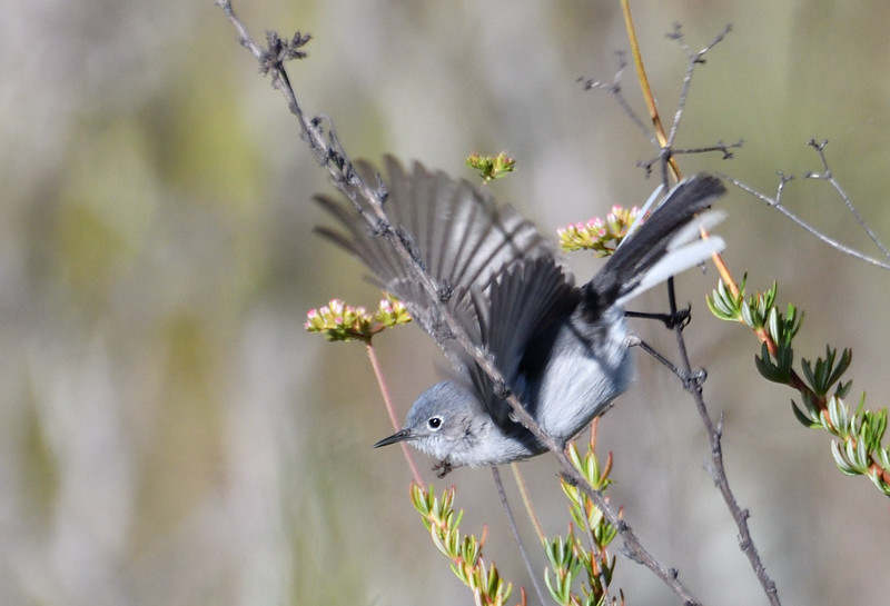 Blue-gray Gnatcatcher  - 5/5/2019 - Trail on the way to Poway Pond on the hill