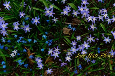 Blue Star Creeper
