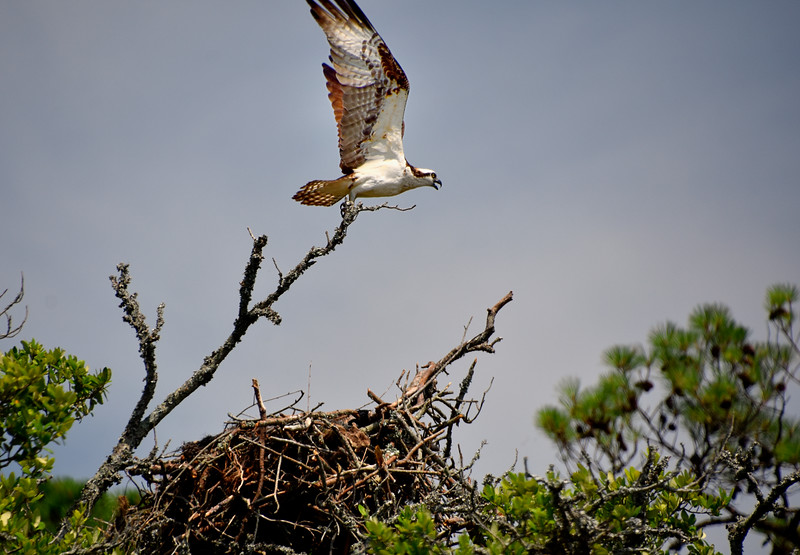 Osprey10-North-Carolina-Outer-banks.jpg