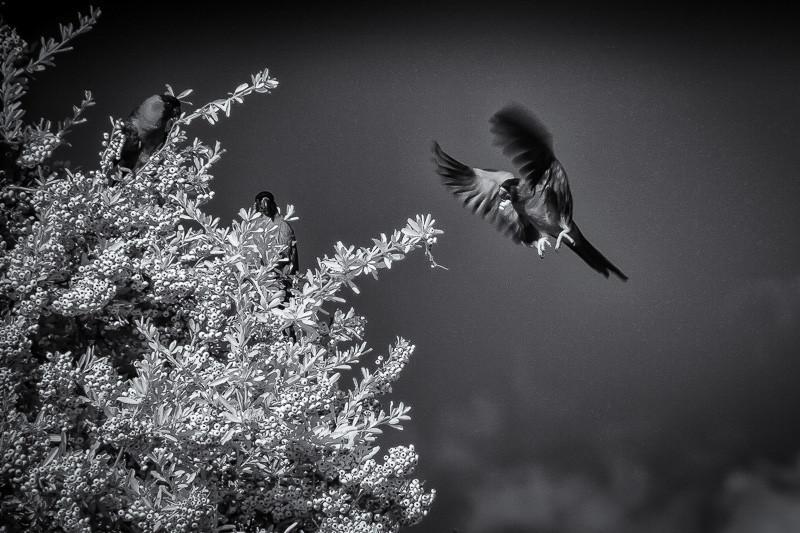 November 3 - Infrared parrots.jpg