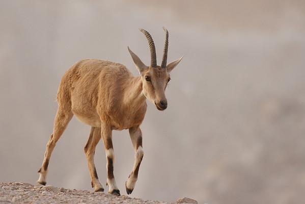 Nubian Ibex יעל נובי