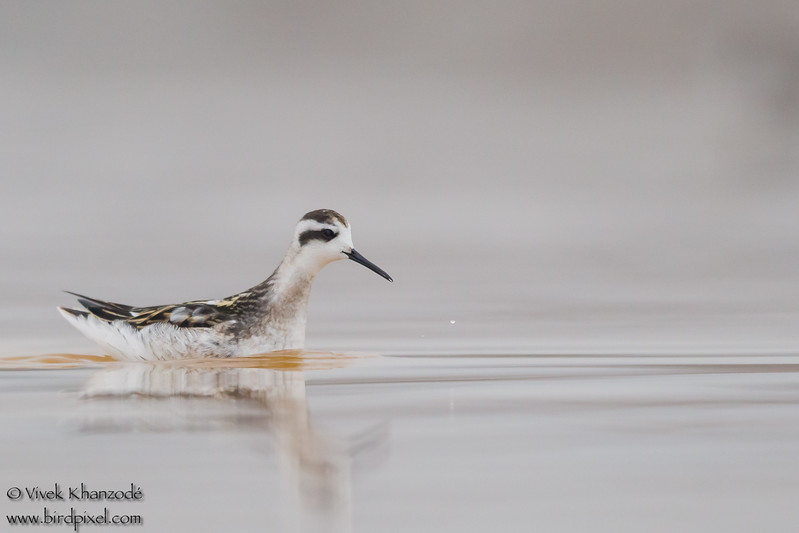 Red-necked Phalarope - Alviso, CA, USA