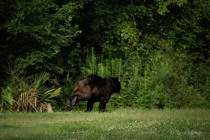 20140630-_G7Q9552Pointe-coupee-bears-Edit.jpg