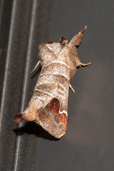 Prominent-Sigmoid-(Clostera albosigma)-Dunning Lake-Itasca County, MN