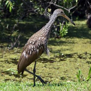 Ducks Geese Non Perching Birds