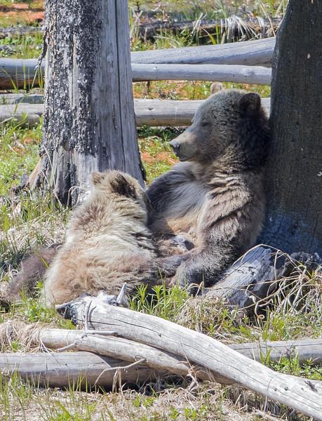 Bear Grizz Nursing 9919.jpg
