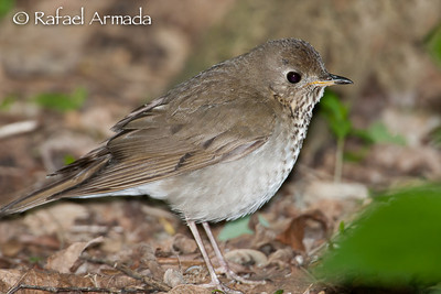 Grey-cheecked Thrush (Catharus minimus)