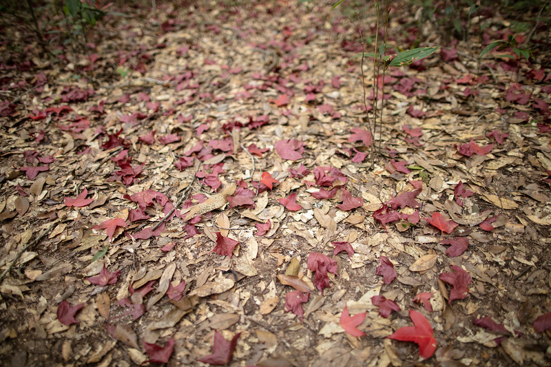 Acer calcaratum leaves at Phu Kradueng National Park (Thai: อุทยานแห่งชาติภูกระดึง) in Loei Province, Thailand.