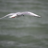 Bonaparte's Gull at Rich Marine Buffalo NY 1.10.12