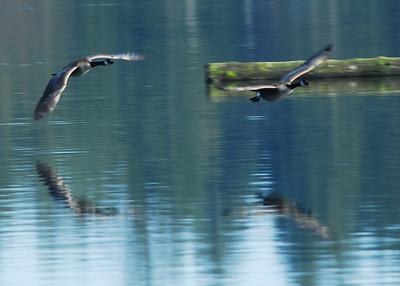 American Lake Birds