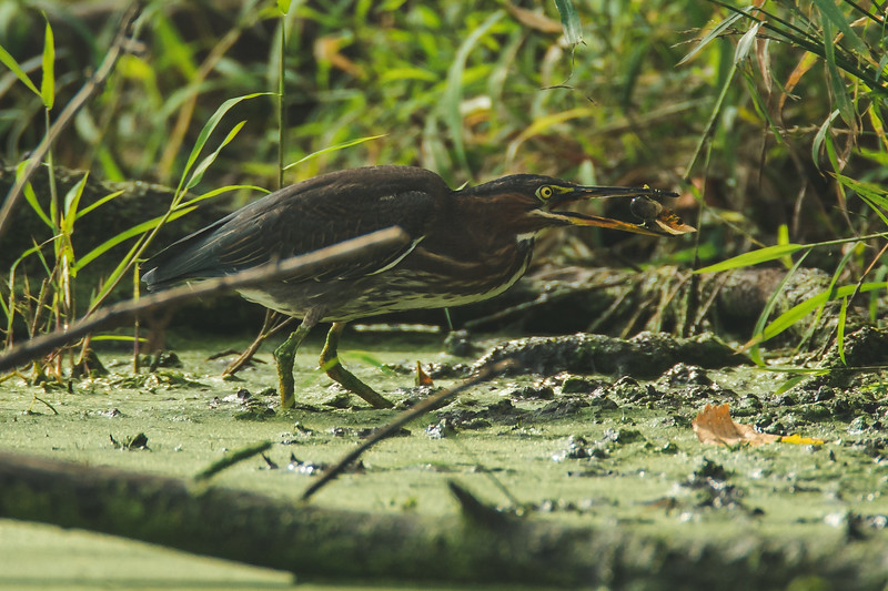 A green heron with a meal at the Celery Bog