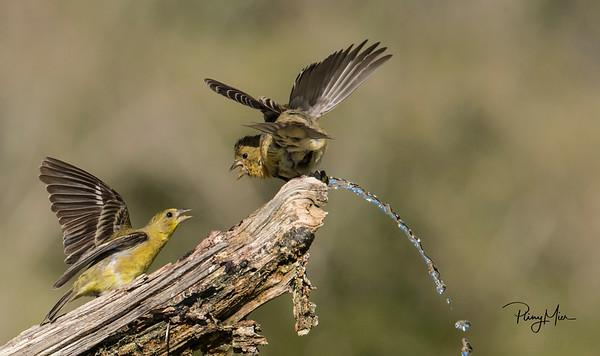 Goldfinches drip LL.jpg