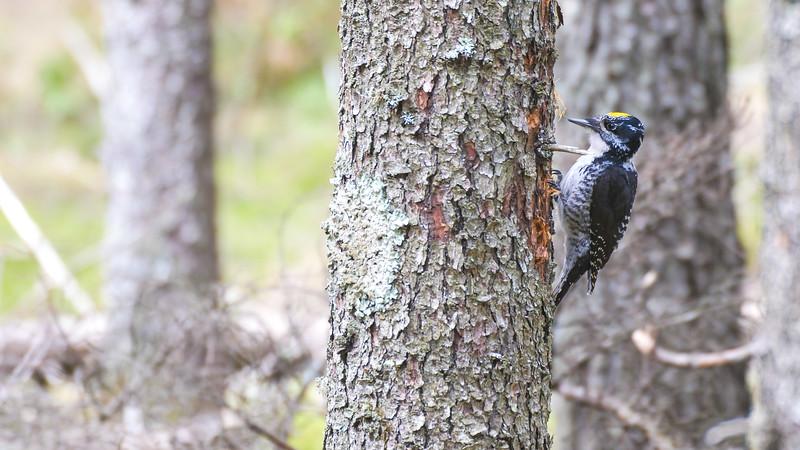 American Three-toed Woodpecker male Warren Nelson Memorial Bog Blue Spruce Road Sax-Zim Bog MN P1022433.jpg