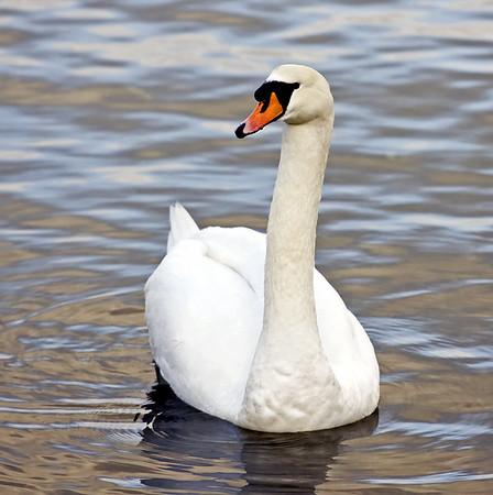 Wildlife - Swans