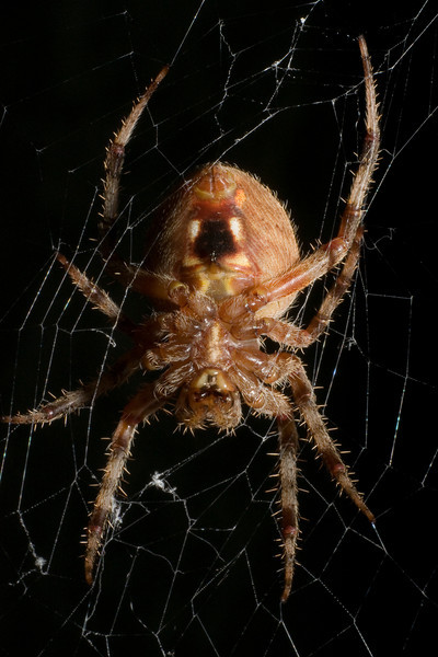 Spider - Arboreal Orb Weaver - 0109