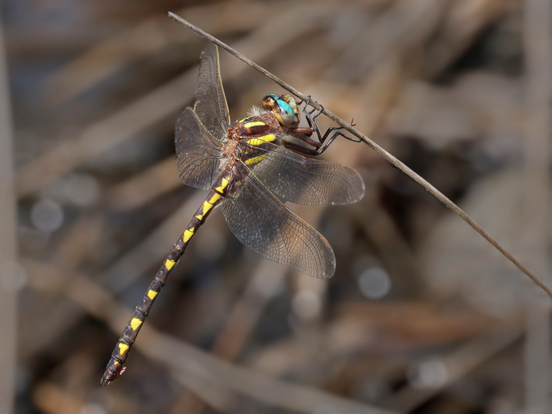 Brown Spiketail (Cordulagaster bilineata), male