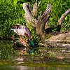 Mallard duck eating