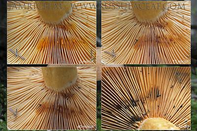 05.11.2014 – Lactarius salmonicolor