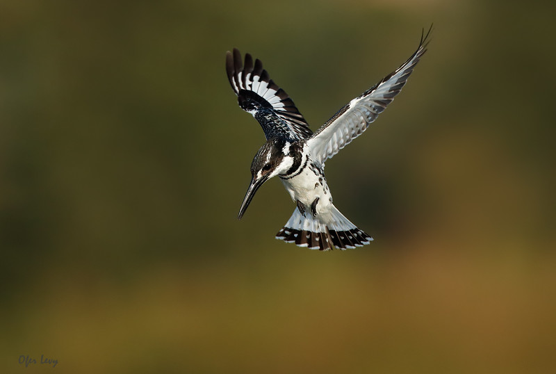 Pied Kingfishers hovering 2 MASTER.jpg