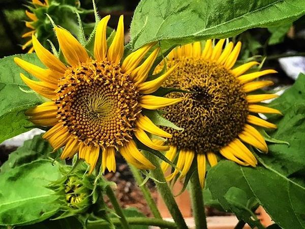 Good morning! #sunflower