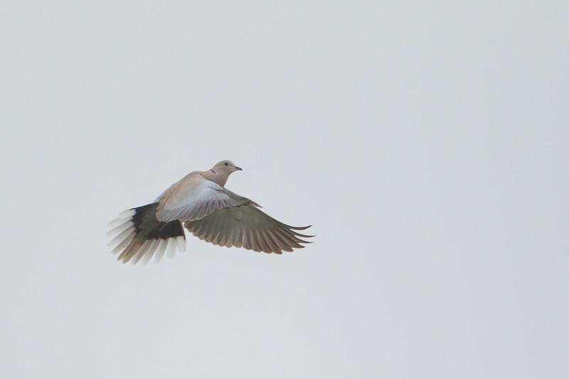 Eurasian Collared Dove - Point Reyes National Seashore, CA, USA