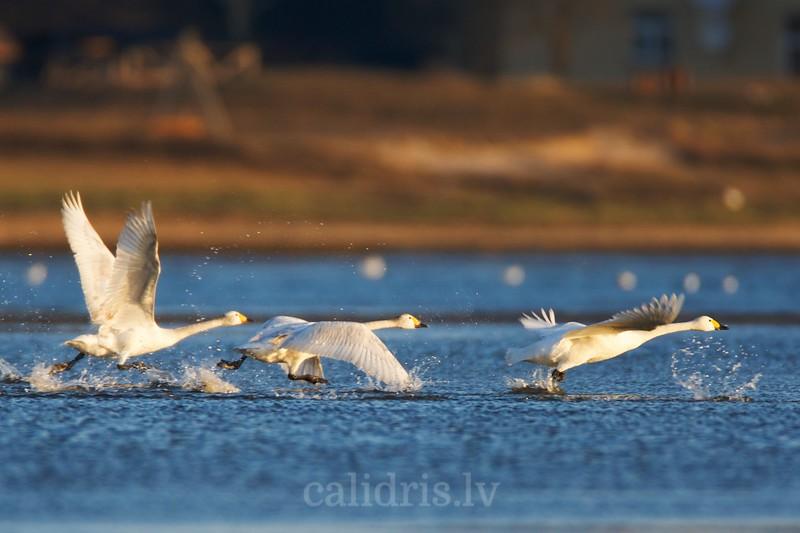 Bewick's swans take off / Mazie gulbji paceļas no ūdens