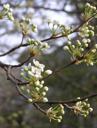 apple-blossom_111083570_o.jpg