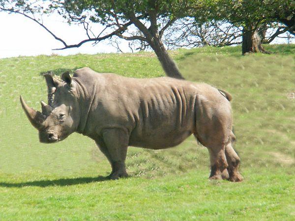 Ronny the Rhino.JPG