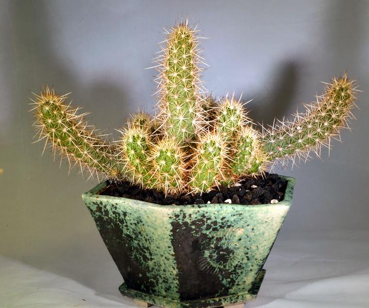 Echinocereus bathlowanus