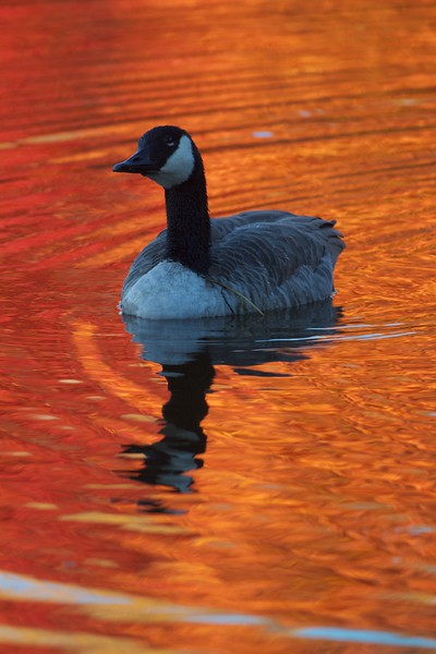 Canada Goose fall color reflection Rock Pond UMD Duluth MN IMG_0067263.jpg