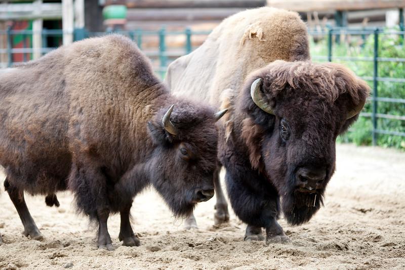 Couple of bisons, Berlin zoo, Germany