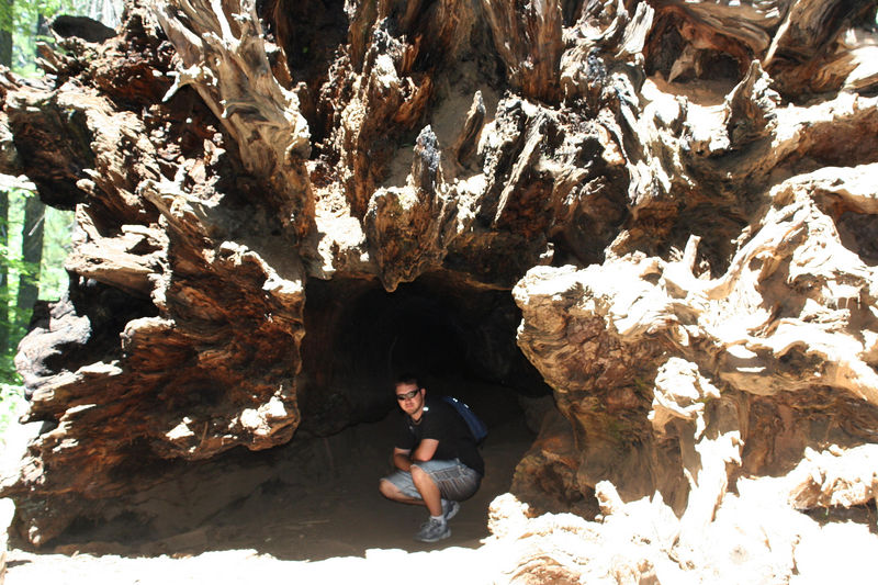 dave in a sequoia.jpg