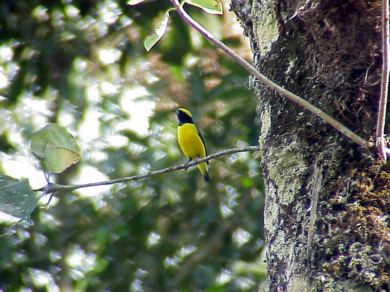 Yellow-crowned Euphonia male at Talari Mountain Lodge Costa Rica 2-15-03 (50898440)