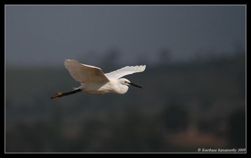 Little Egret, Kabini, Mysore, Karnataka, India, June 2009