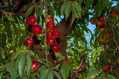 Panamint Nectarine (Prunus persica var nucipersica)