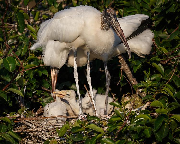 Wood Stork Family-5870.jpg