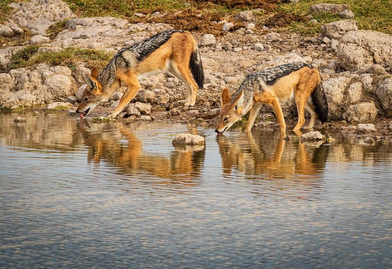 Thirsty jackals
