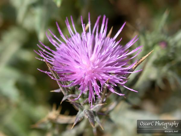 Israeli Flowers
