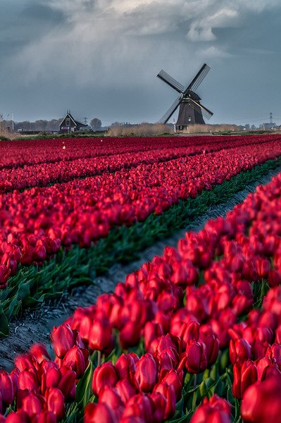 HOLLAND - TULIPS & WINDMILLS-0356.jpg