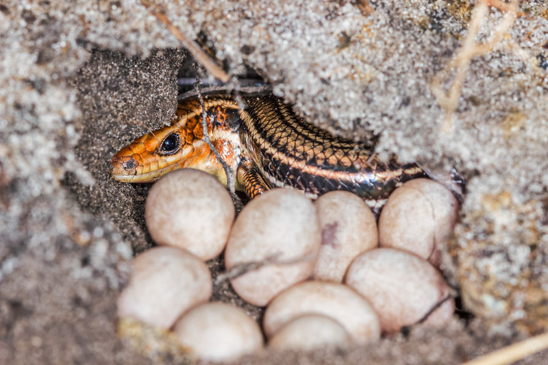 Skink with eggs