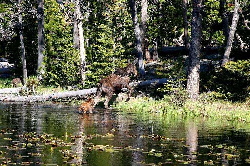 Moose at Little Popo Agie.JPG