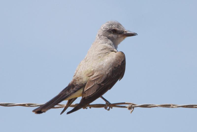 Western Kingbird adult (1) at Firebaugh, CA (07-18-2009)