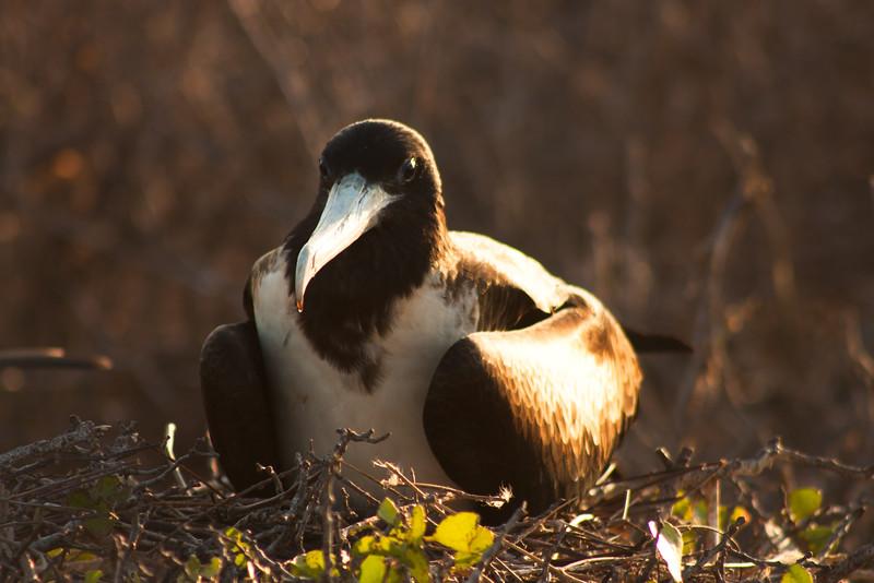 Journey into Baltra Island in the Galapagos Archipelago 31 Female Frigate Bird Nesting