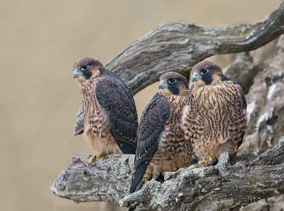 San Diego Coastline Peregrine Falcon