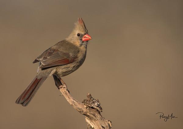 Cardinal female 3LL.jpg