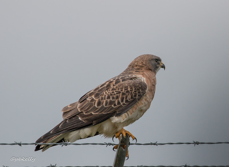 Swainson's Hawk's were spaced along an airport fence.  A new one for me.