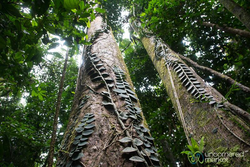 Walk Through the Daintree Forest - Queensland, Australia